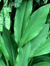 turmeric leaves relieve gas