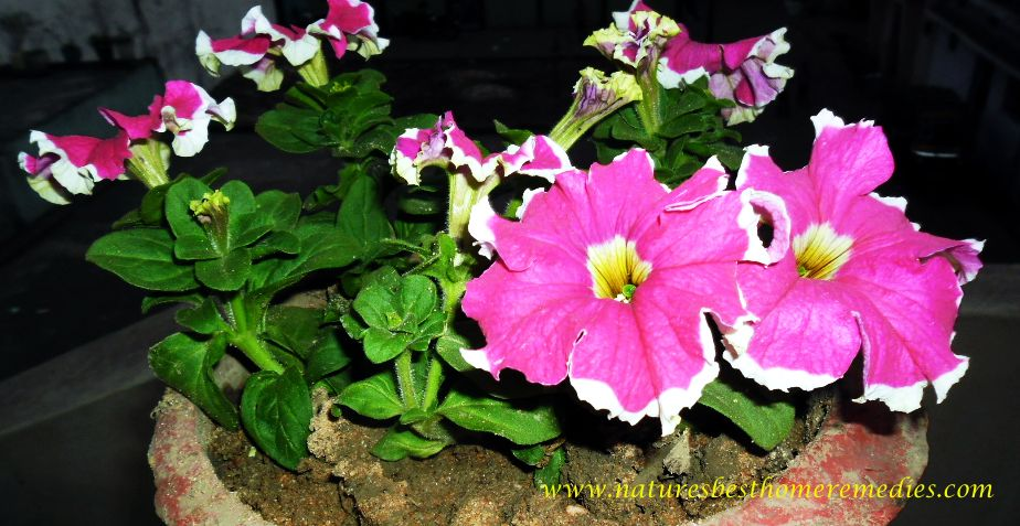 image of petunia flower