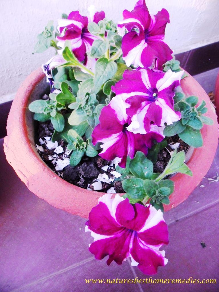 petunia flower magenta