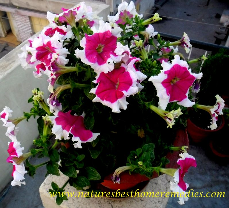pictures of petunia flower