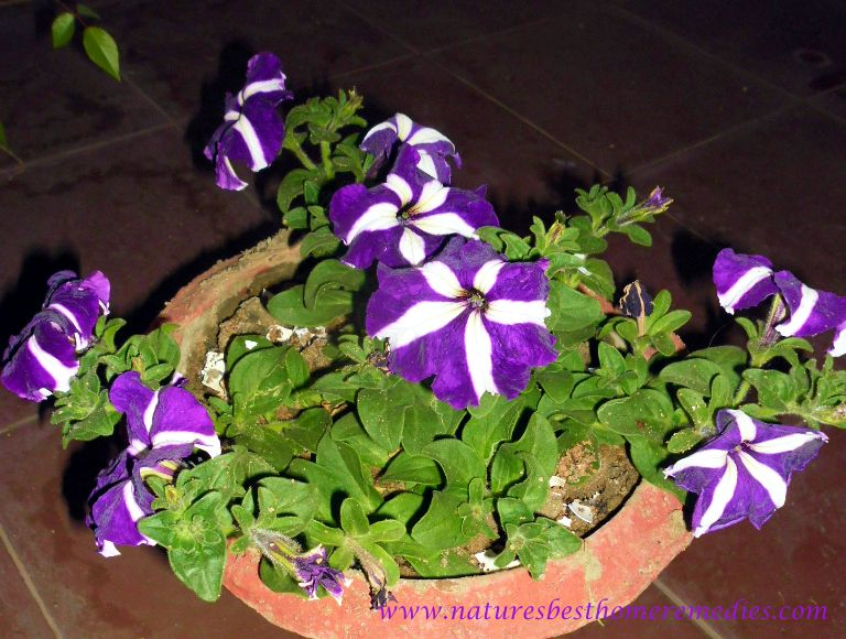 Purple Petunia Flowers picture