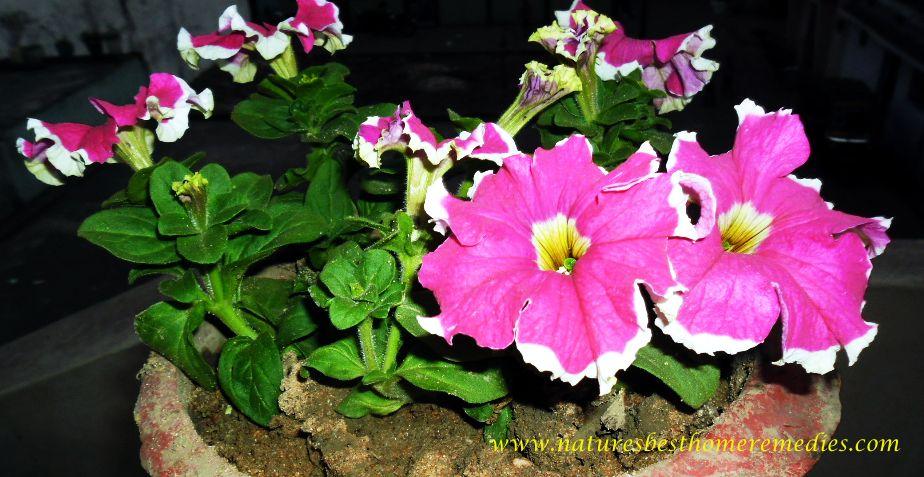 image of petunia flower