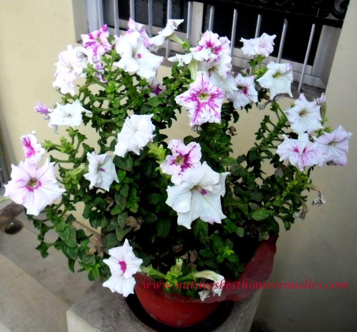 petunia flower white